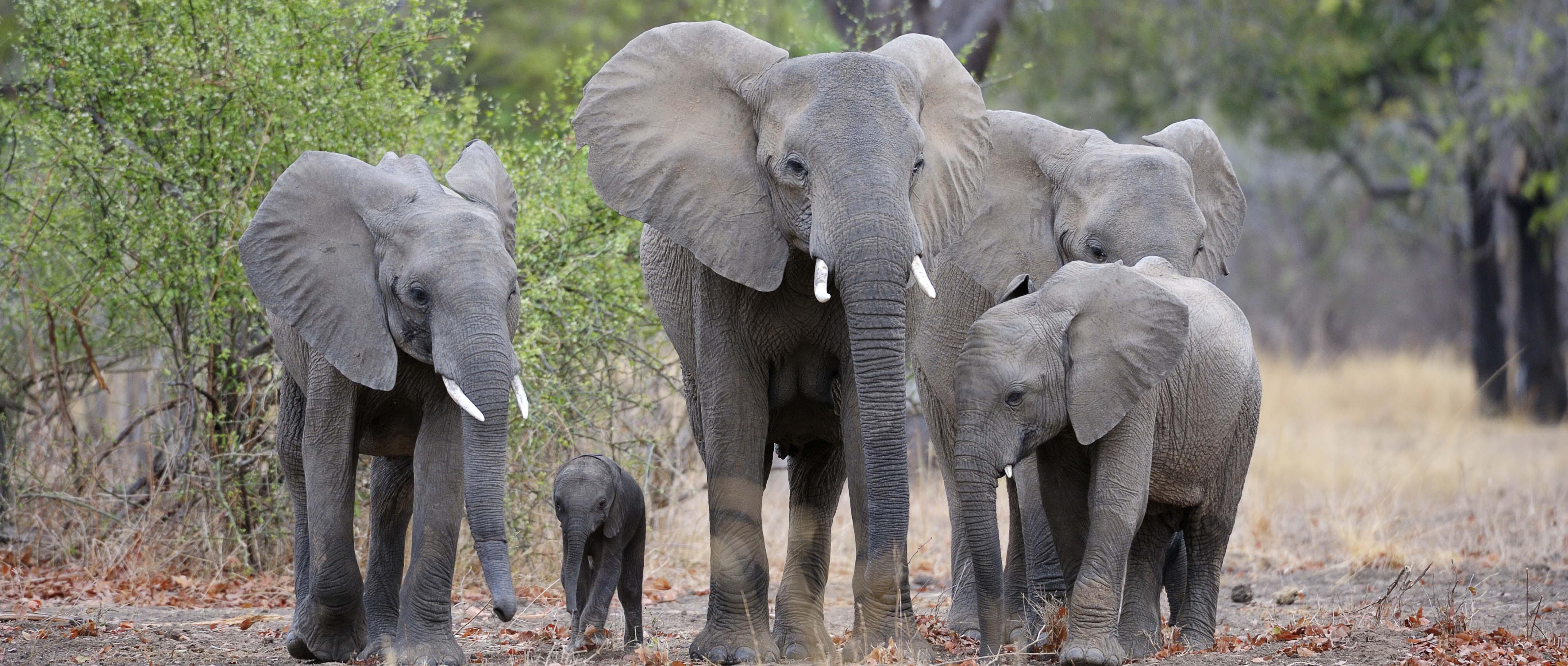 Herd of Elephants in African terrain.